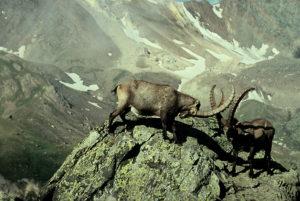 Tierfotografie Steinböcke