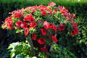 Pflanzen - Petunien